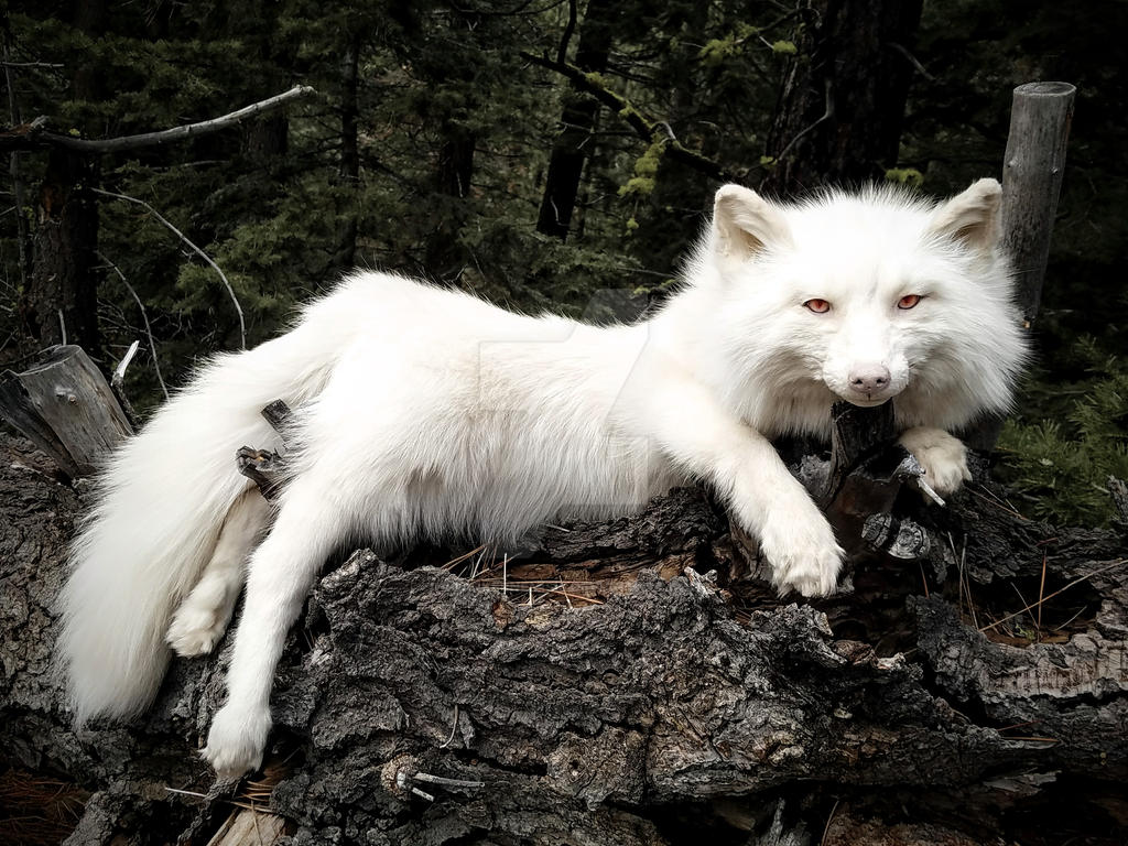 Beautiful Pale Champagne fox by AdarkerNEMISIS