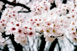 Cherry Blossom by theender1
