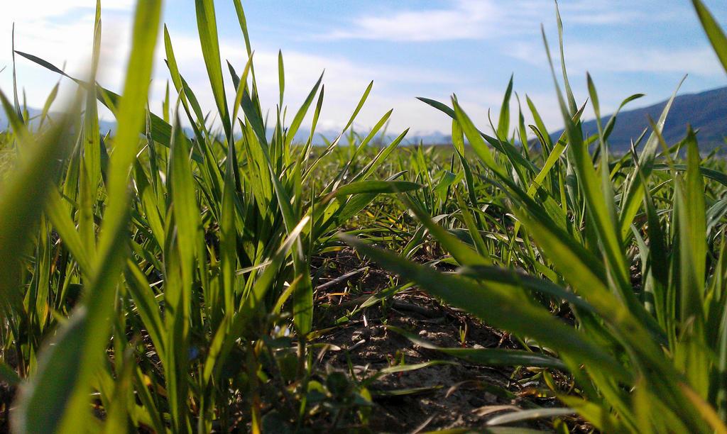 wheat 2 by Bliznaka