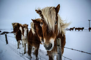 Icelandic Horses by melanchology