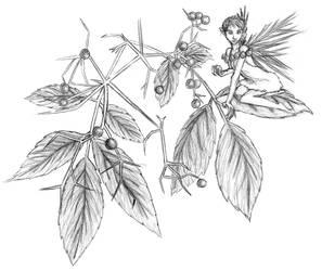 Elderberry Pixie