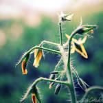 Solanum Tomato by venicequeenf