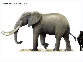 Loxodonta atlantica