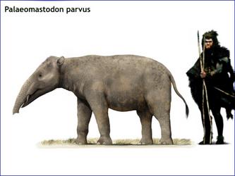 Palaeomastodon parvus