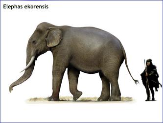 Elephas ekorensis
