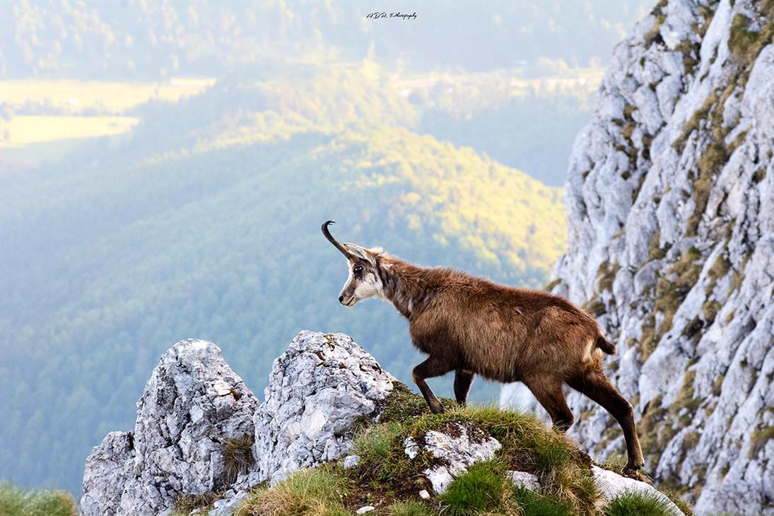 Mountain goat by trekking-triP