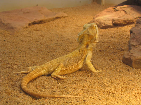 lizard by mimose-stock