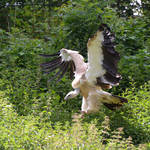 vulture V