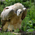 vulture XIII