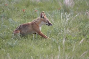 Swift Fox 10 by treyviathan