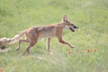 Swift Fox 11 by treyviathan
