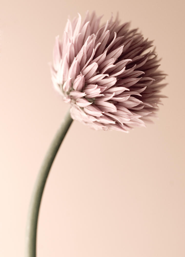 Muted Flower by tpphotography