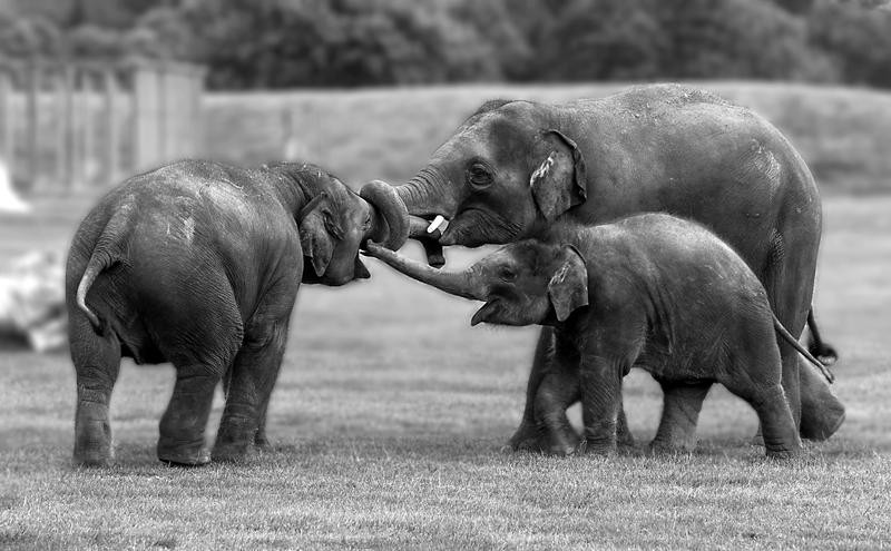 Elephants Playing by tpphotography
