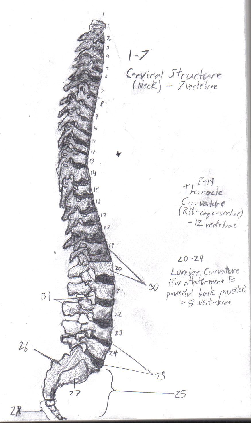 Human Spine Anat. Diag. by Skullok on DeviantArt