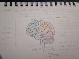 The brain and some different lobe