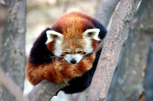 Red Panda by Shavari1