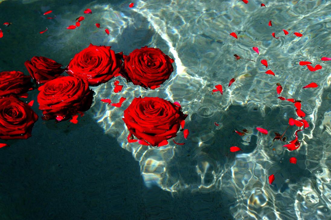 Red Rose Photog...