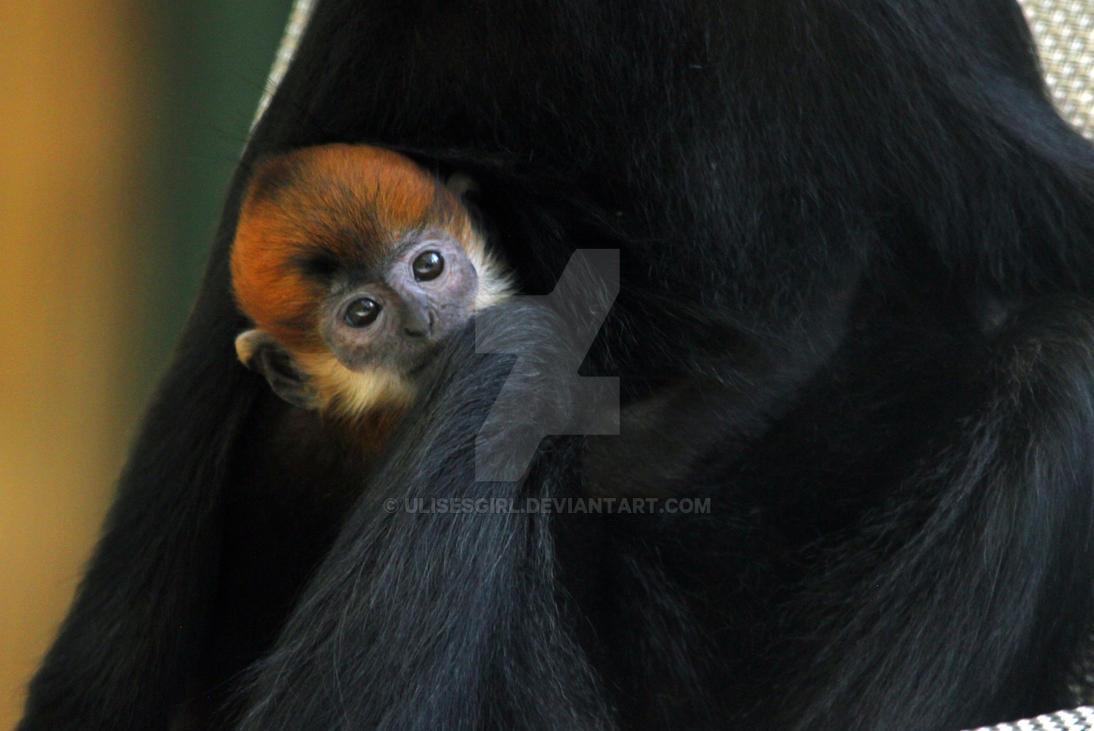 Baby Francois Langur by UlisesGirl