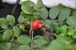 Red Rosehip