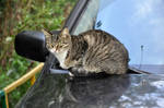 Cat on the Car
