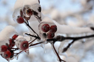 Frozen Berries by Blazemorioz