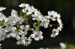 Cherry in Bloom