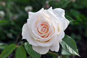 White Rose by Blazemorioz