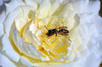Wasp on Rose