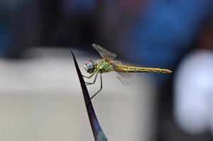 Dragonfly by Blazemorioz