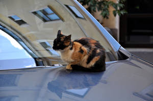 Cat on a Car Hood