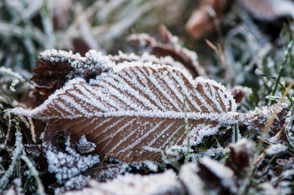 Frost by Blazemorioz