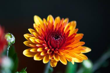 Chrysanthemum by Blazemorioz