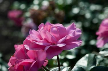 Roses by Blazemorioz