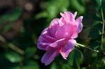 Rose by Blazemorioz