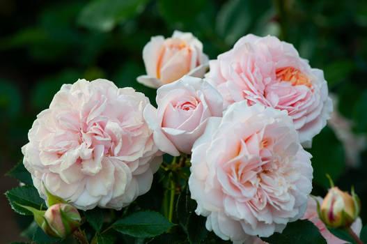 Cream Roses