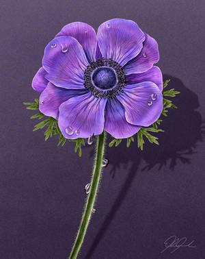 Anemone Flower by ScarletWarmth