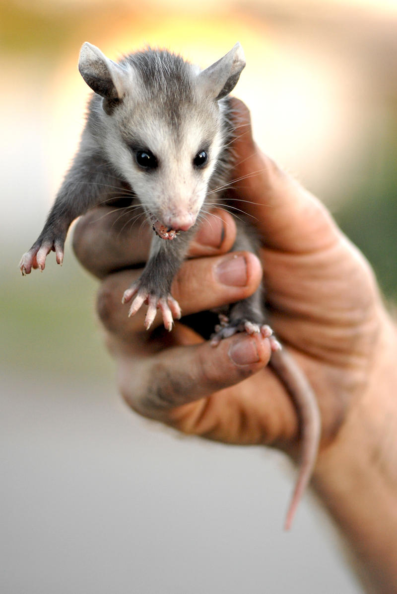 What Do Baby Possums Drink