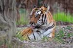Tiger Portrait 5