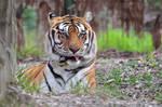 Tiger portrait 5.1