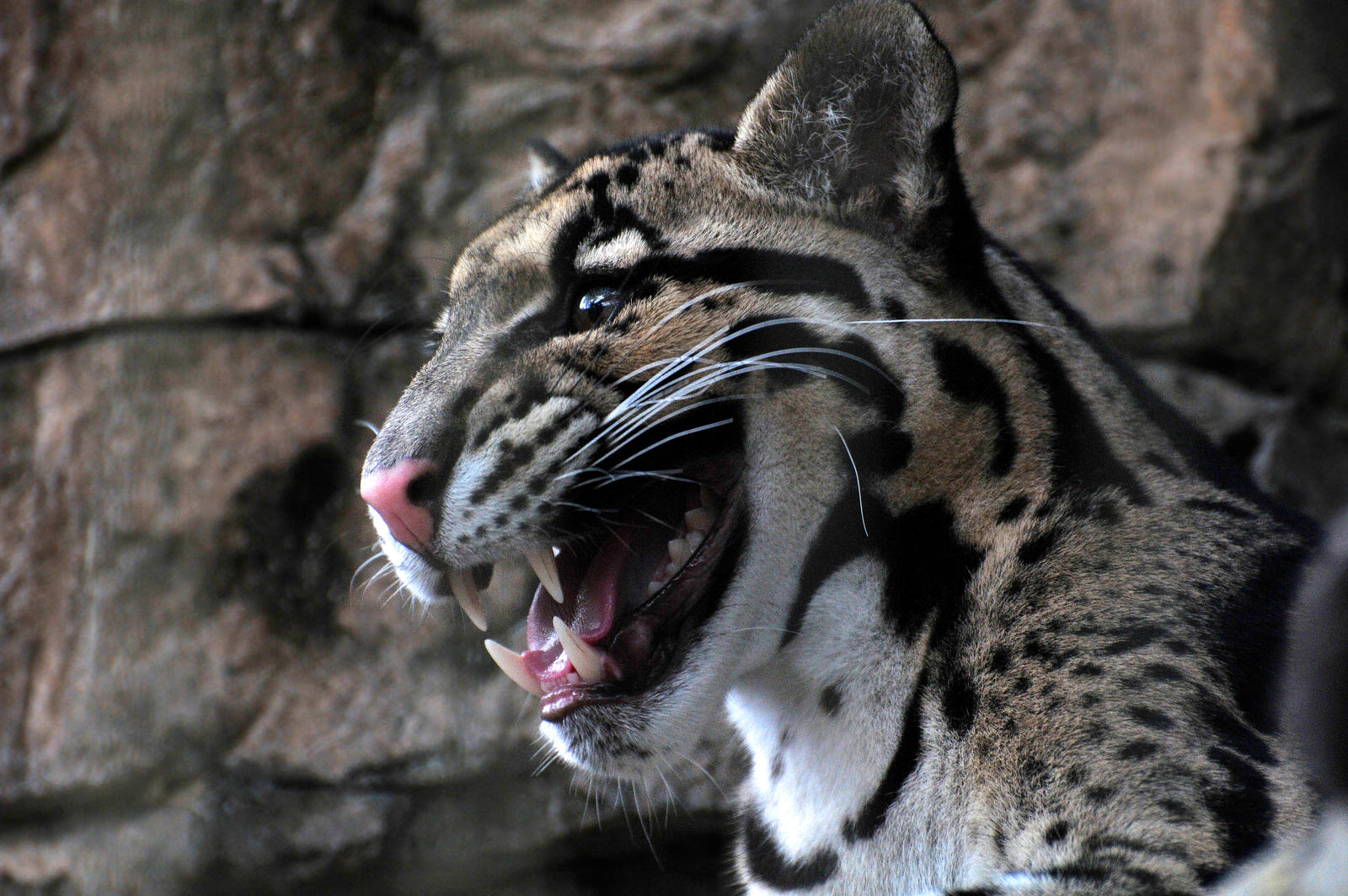 Bornean Clouded Leopard Teeth Clouded Leopard Teeth ...