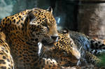 Two jaguars in love by NB-Photo