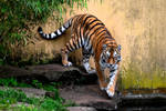 Tiger before a wall by NB-Photo