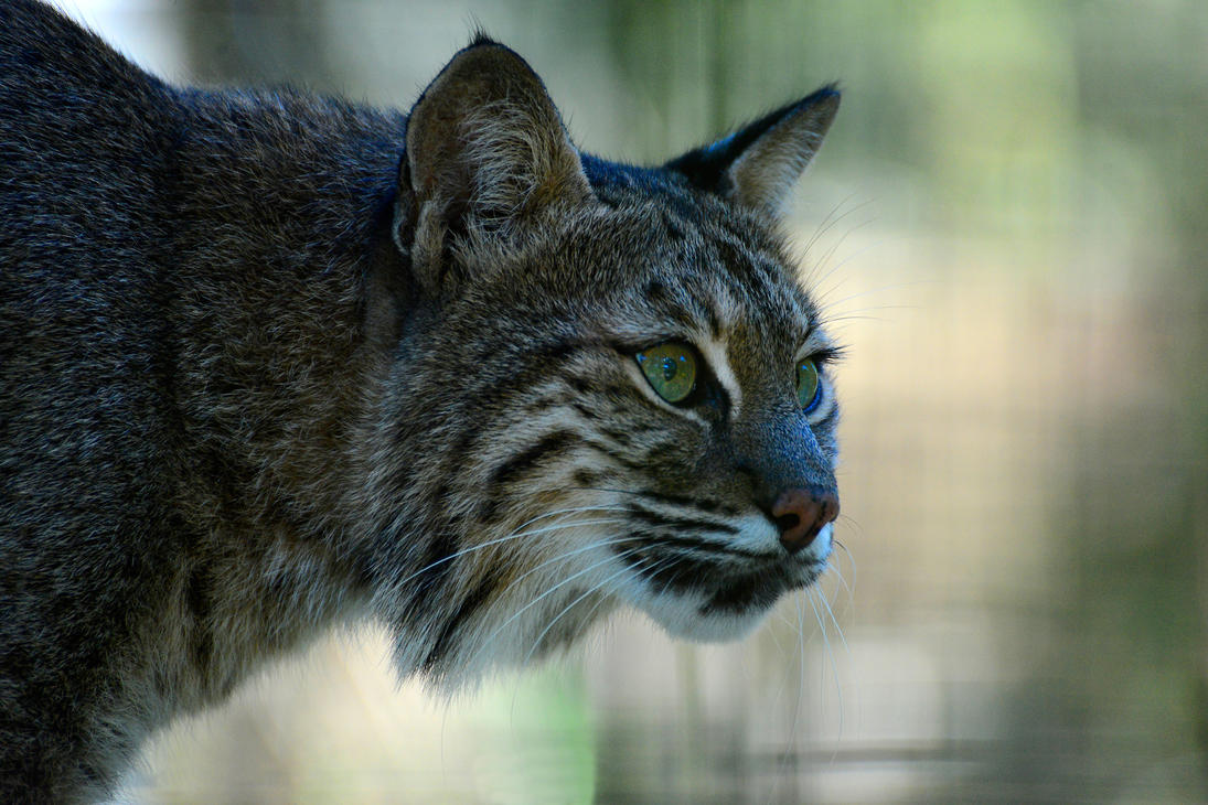 Lynx by NB-Photo