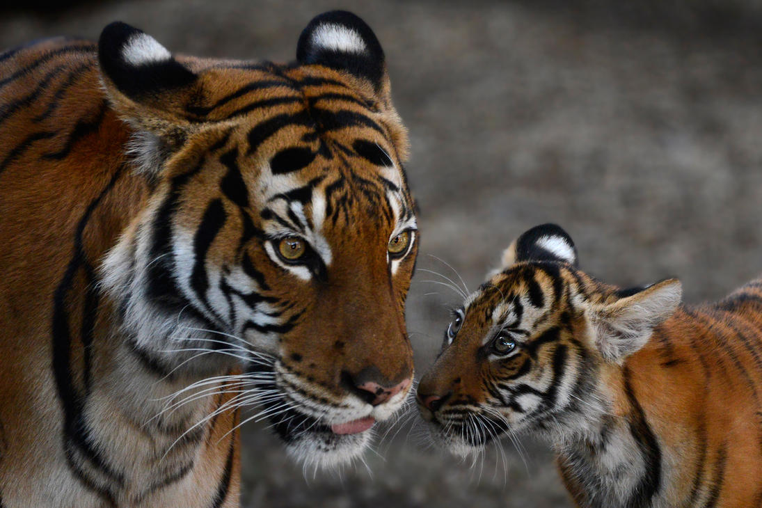 Can you tell me how to become a tigress? by NB-Photo