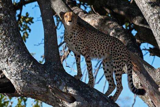 Cheetah posing as a leopard