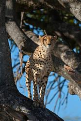 Cheetah posing as a leopard 2