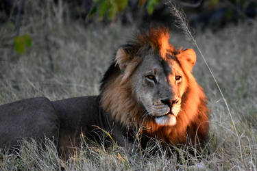 A lion in his prime by NB-Photo