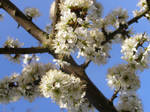 Blackthorn Blossom on Blue by Spaceythebard