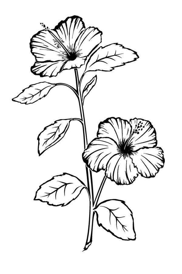 Hibiscus Flower Line Drawing : Hibiscus flower tattoo by sparkycom on deviantart