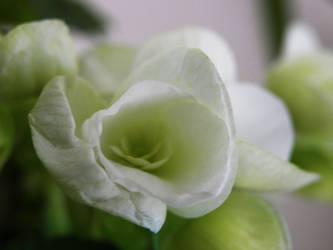 Delicate white...